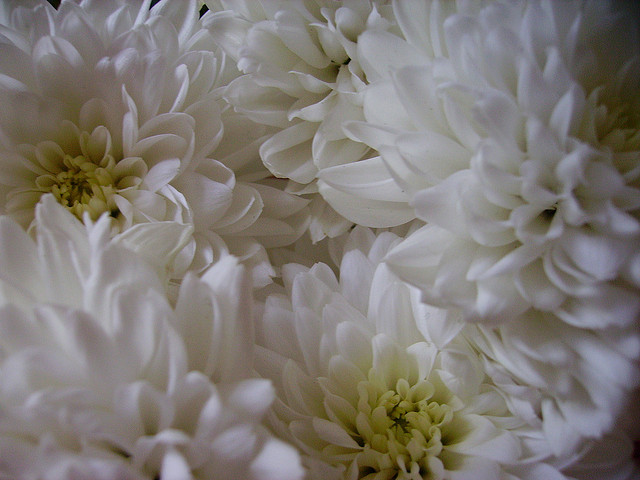 MyFrenchLife™ - French faux pas - chrysanthumums