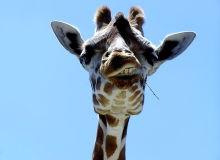MyFrenchLife - French expressions - giraffe