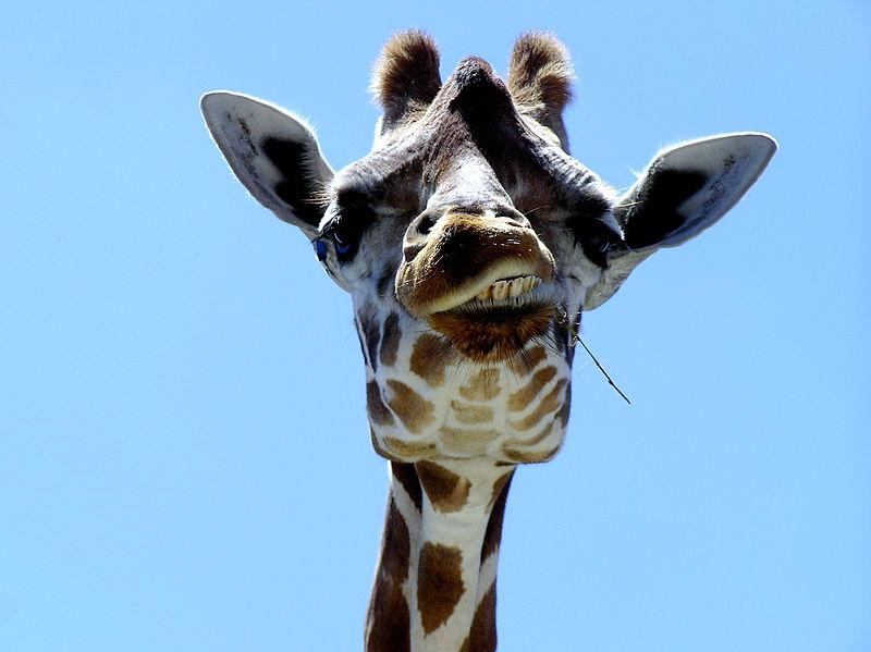 MyFrenchLife™ - French expressions - giraffe