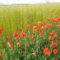 MyFrenchLife™ – MyFrenchLife.org - Brexit - Somme - Poppies