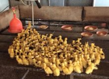 MyFrenchLife™ - MyFrenchLife.org - French Foie Gras - Young Ducklings Feature